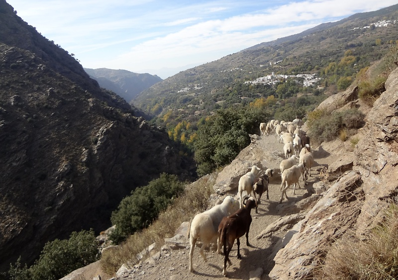 busquista-sheep.jpg