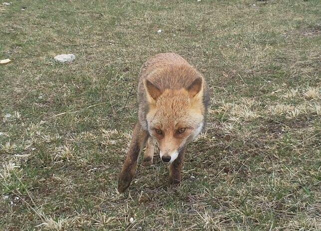 abruzzen-fox.jpg